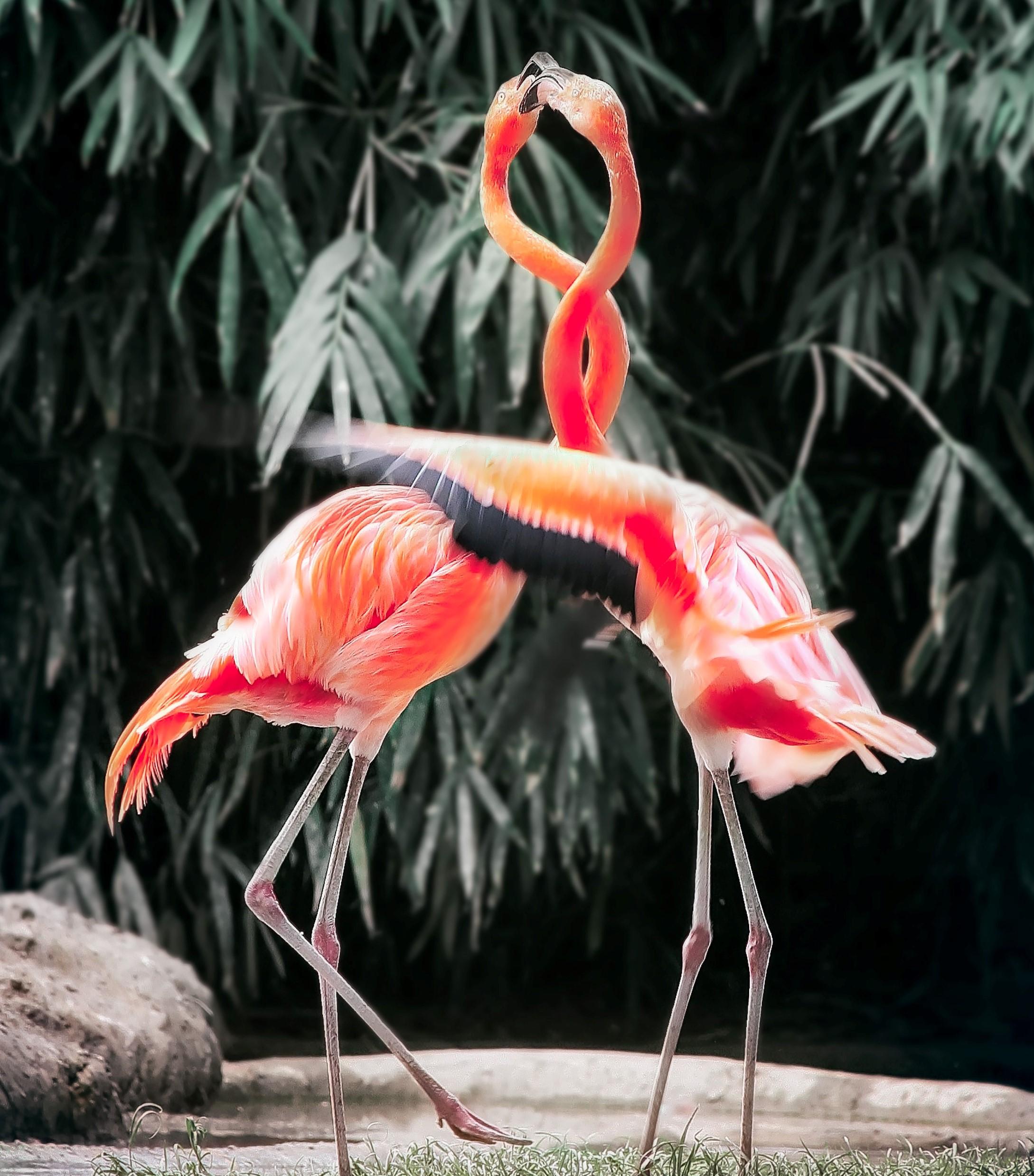 Flamingo's samen